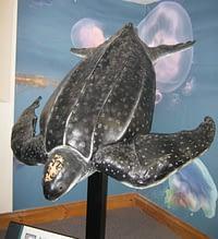 The leatherback turtle